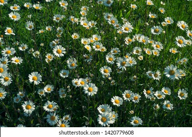 Daisy camomile flower background. Darck camomile background