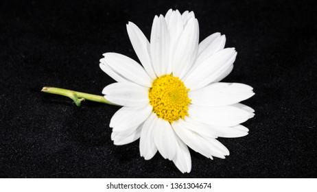 daisy camomille white flower