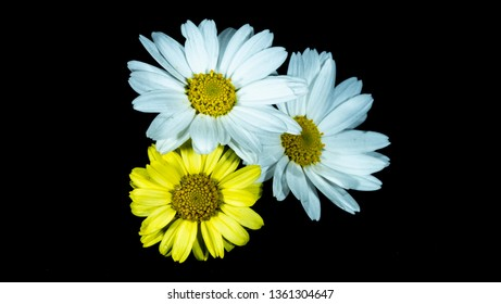 daisy camomille white and yellow flower