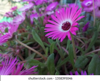 Daisy or celetum bellidiformis or Livingstone daisy flower looking beautiful ,background and walpaper