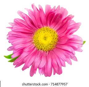 Daisy chrysanthemum chamomile isolated on white background with clipping path