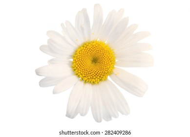 Daisy closeup on a white background.