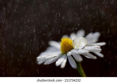 Daisy with drop on its petal facing rain storm