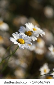 Daisy with drops of dew in a meadow at dawn, selective focus.