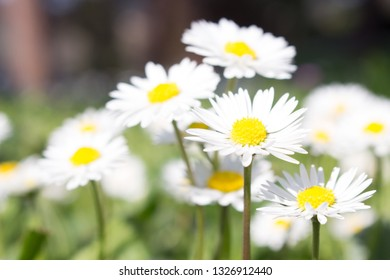 """Daisy is a feminine given name """"fresh, wholesome, and energetic"""" also a nickname for Margaret, New beginnings, which is why they are often found in bouquets for new mothers or as gifts for children."""