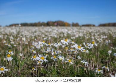 Daisy field on a Scandinavian summer day