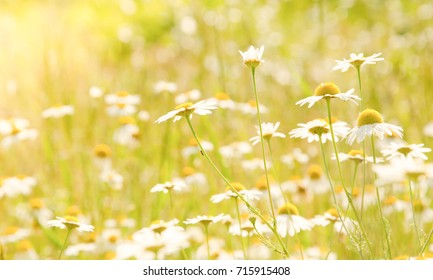 Daisy field in the sunlight. Marguerites. Chamomile. Spring floral.