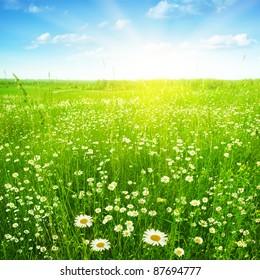 Daisy field under sunlight.