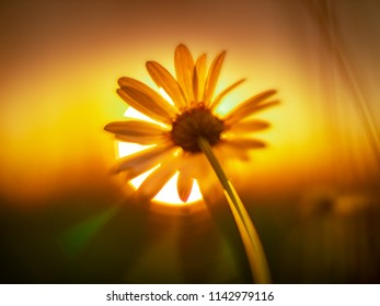Daisy flower against sunset sun. Macro shot, shallow DOF.
