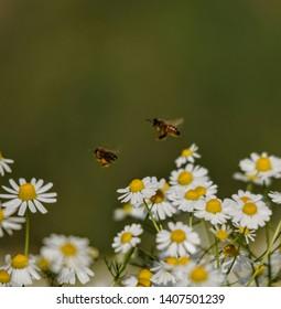 Daisy flower aryan honey flowers polen