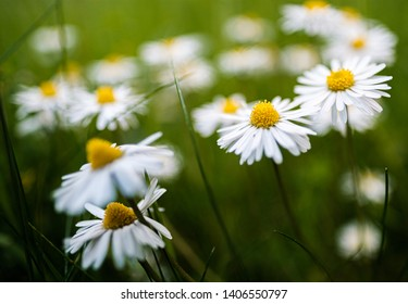 Daisy flower blossom in nature