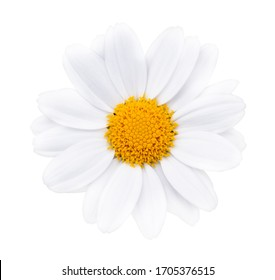 Daisy Flower With Clipping Path, close up of flower isolated with white background