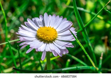 Daisy flower closeup in grass