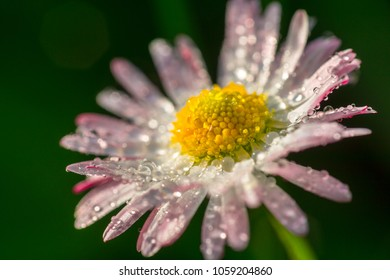 Daisy flower with drops of dew on the petals close up