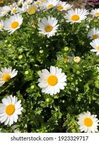 Daisy flower field, beautiful sunny day