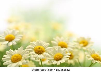 Daisy flower in the field,Closeup