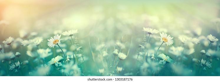Daisy flower, flowering daisy flowers in meadow