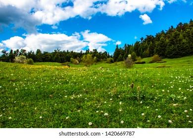 Daisy Flower and Green Grass with Blue Cloudy Sky in Bolu Turkey