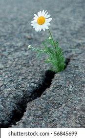 Daisy flower growing from cracked asphalt