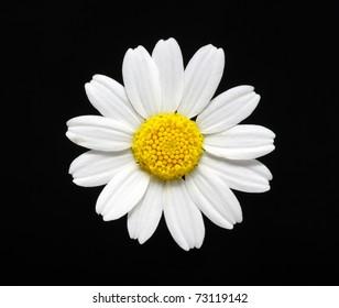 daisy flower isolated on black