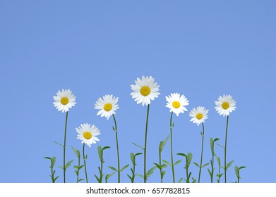 Daisy flower isolated on blue background