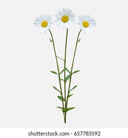 Daisy flower isolated on white  background