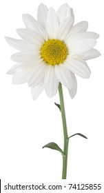 a daisy flower isolated on white with partial clipping path