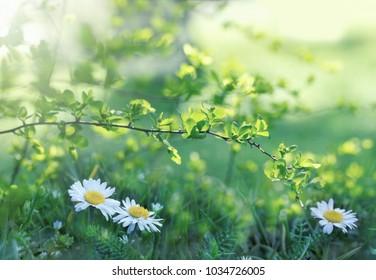 Daisy flower in meadow - beautiful flowering in spring - awakening nature