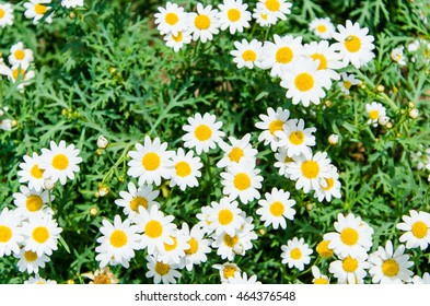 Daisy flower meadow .Chamomile Field