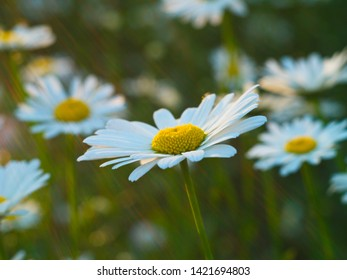 daisy flower on the background of the chamomile field in the rays of the rising sun