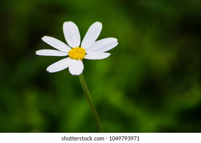 Daisy flower on green meadow. Wild camomile