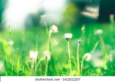 A Daisy Flower on a Meadow in Spring. Surrounded by a Bokeh of lush Greenery.