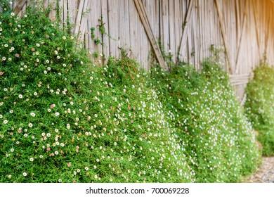 Daisy flower on the wall