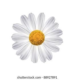daisy flower over white