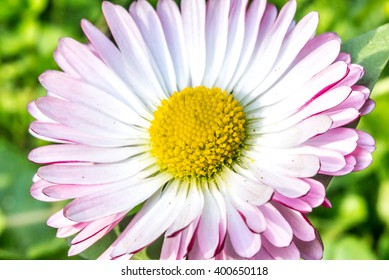 Daisy flower with pink edges, spring time