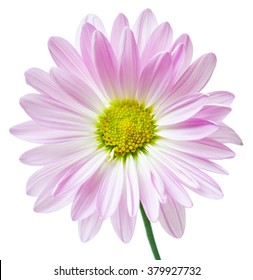 Daisy Flower Pink White Yellow Daisies Blossom Floral Flowers Isolated