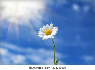 daisy flower reaches for the sun in the background of clouds