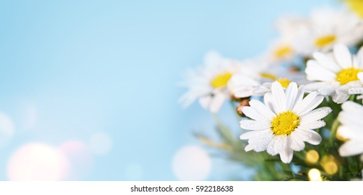 Daisy flower. Spring background. Present for Mothers Day