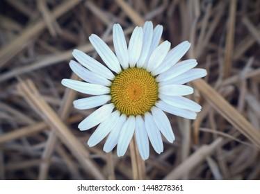 daisy flower straw rural nature summer close-up