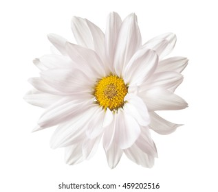 Daisy Flower White Yellow Daisies Blossom Floral Flowers Isolated