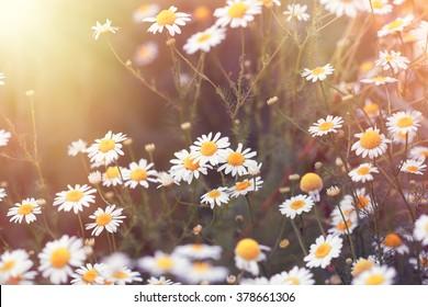 Daisy flower - wild chamomile