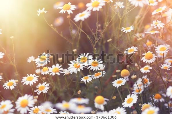 Daisy Blume - wilde Kamille