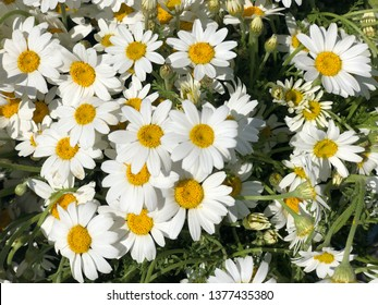daisy flowers as a background