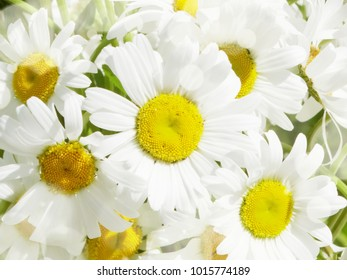 daisy flowers bouquet and sunny beams summer holiday background concept