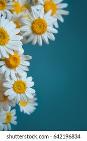 Daisy flowers frame on blue background. Flat lay. Top view.