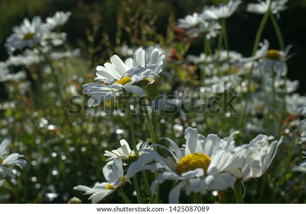 Daisy flowers are going up in the morning sunshine