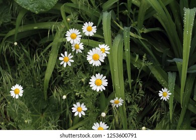 Daisy flowers in the grass in the drops of dew