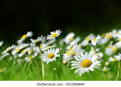 Daisy flowers in grass on the meadow. Spring season.