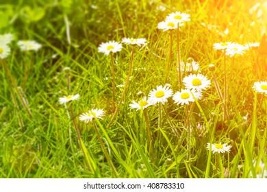 daisy flowers in grass, sunlight in summer