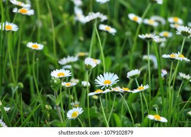 Daisy flowers in green grass